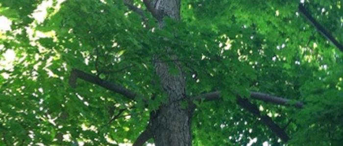 Sugar Maple (Acer saccharum) Woodlawn