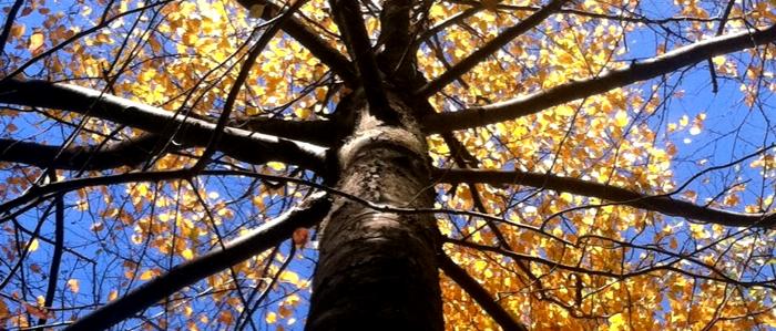 River Birch fall color