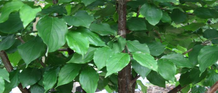 Green leaves of the Japanese Cornel Dogwood