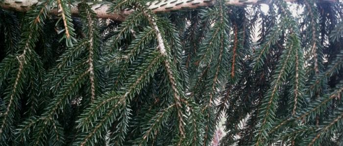 Long needles of the Oriental Spruce (Gowdy)