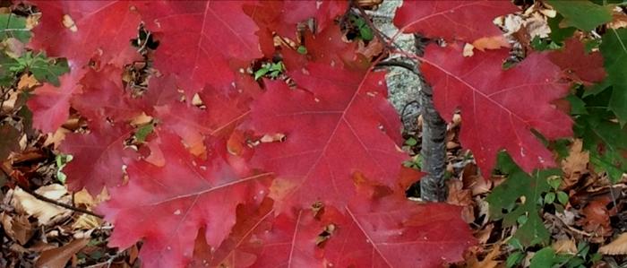Oak (Scarlet)
