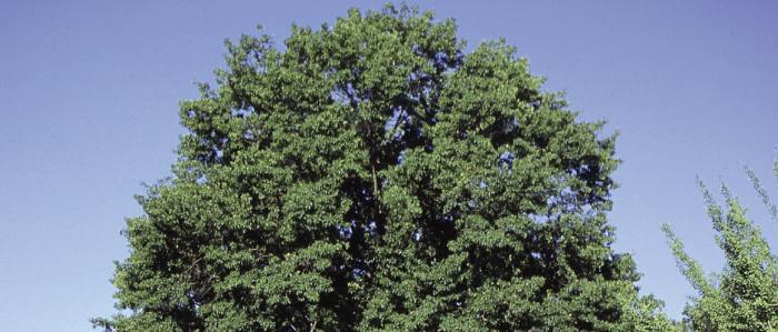 Oak (Red)