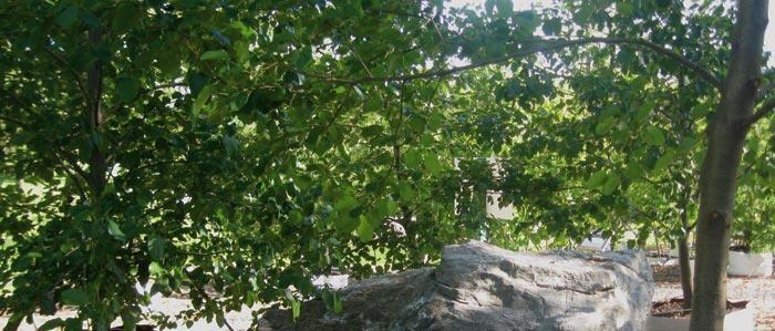 Italian Alder (Alnus cordata) leaves/ foliage