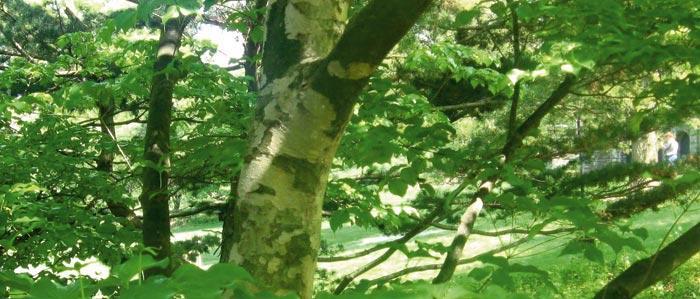Leafy branches of a Kousa Dogwood