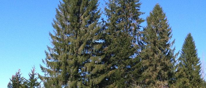 Several towering Norway Spruce