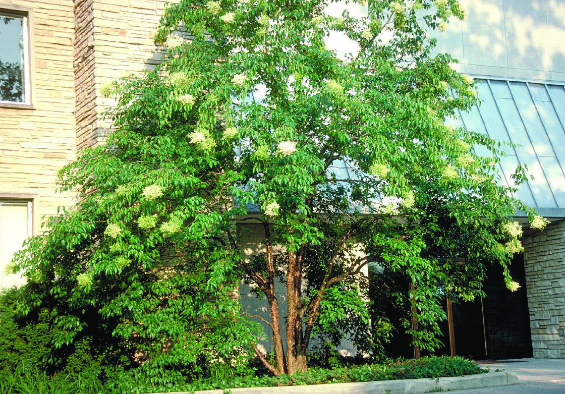 Lilac Peking Beijing Gold Nursery Landscape Trees