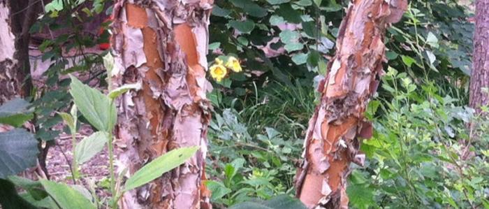 Ornamental bark, medium sized shade tree